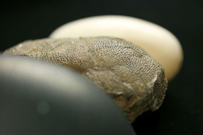 A diferencia de los huevos incoloros  de los caimanes modernos (fondo), los huevos de algunos ...