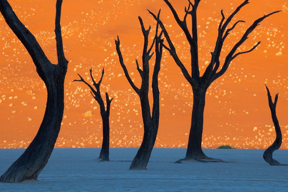 Los árboles de espina de camello en Namib-Naukluft Park, Namibia, parecen una pintura cuando se fotografían ...