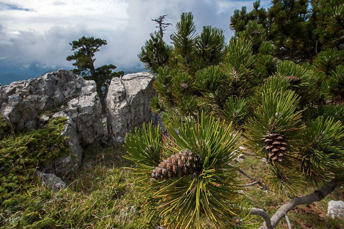 El parque de Pollino también alberga estos pinos bosnios. Las coníferas son unos de los árboles ...