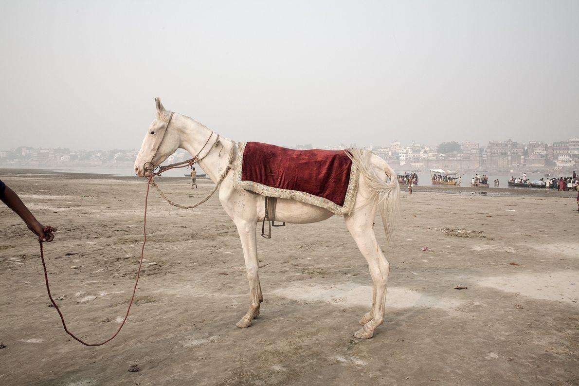Un caballo, que pareciera desnutrido, espera para transportar a los devotos hindúes por las riberas del …