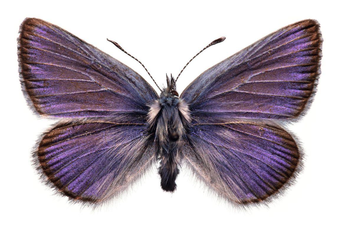 La extinción del Xerces azul, una mariposa observada por última vez en las dunas de los ...
