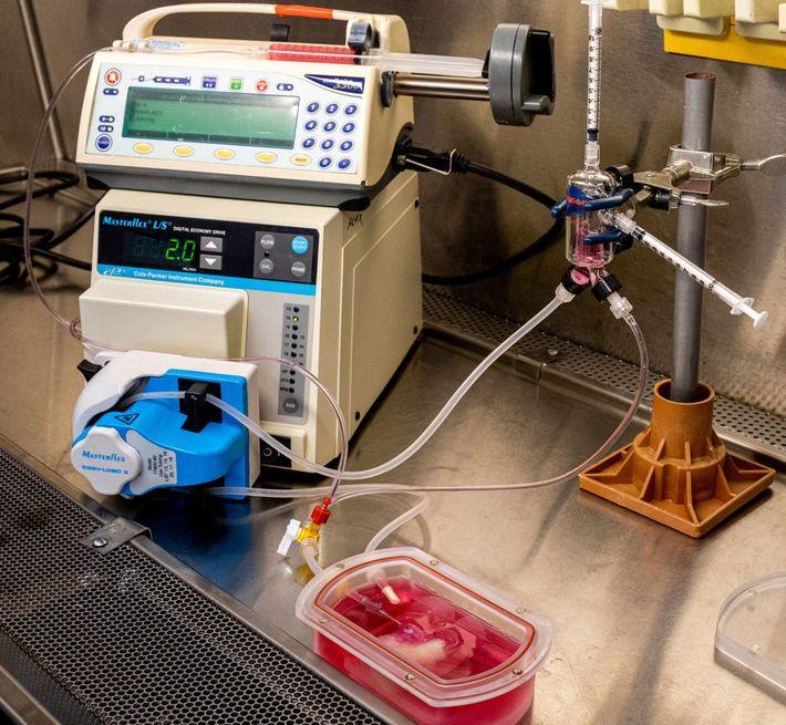 Un dispositivo denominado bioreactor conserva al minihígado dado que le proporciona oxígeno y nutrientes. Este sistema ...