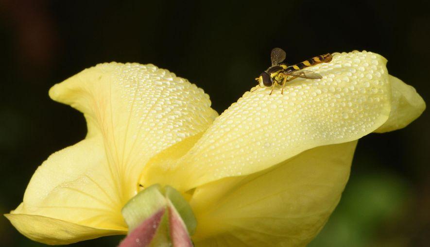 Una mosca marrón y amarilla descansa sobre una onagra cubierta de gotas de rocío en el ...