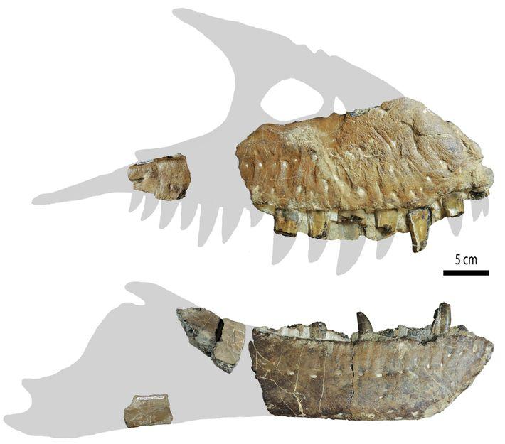 """Por ahora, los fragmentos del cráneo son lo único que queda del """"Thanatotheristes"""". Es posible que ..."""