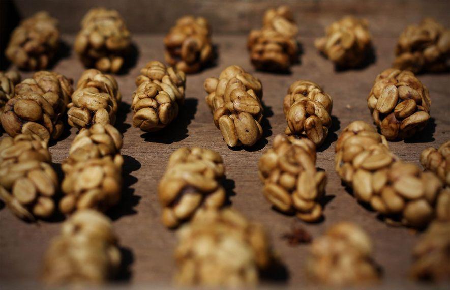 Las heces de civeta, llenas de granos de café parcialmente digeridos, antes se recolectaban en su ...