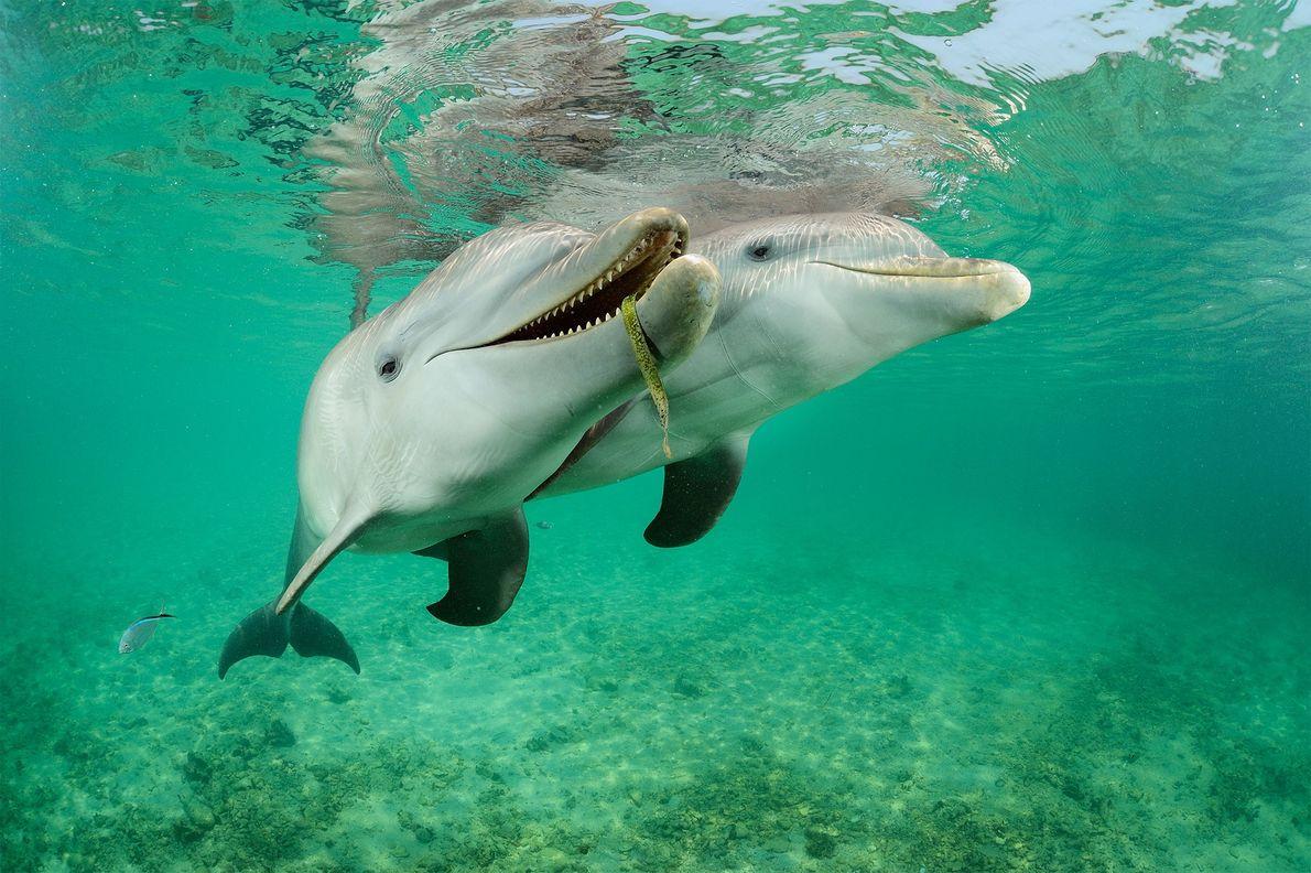 Estos delfines nariz de botella (Tursiops truncatus) en Roatan, Honduras, están en semicautiverio y nadan entre ...