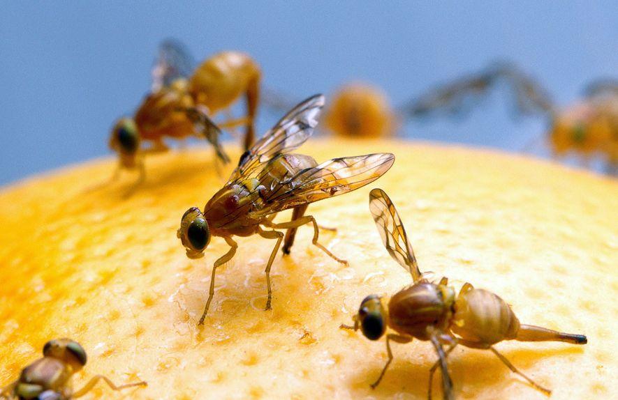Las investigaciones muestran que las moscas machos que no tienen relaciones sexuales recurren al alcohol para ...