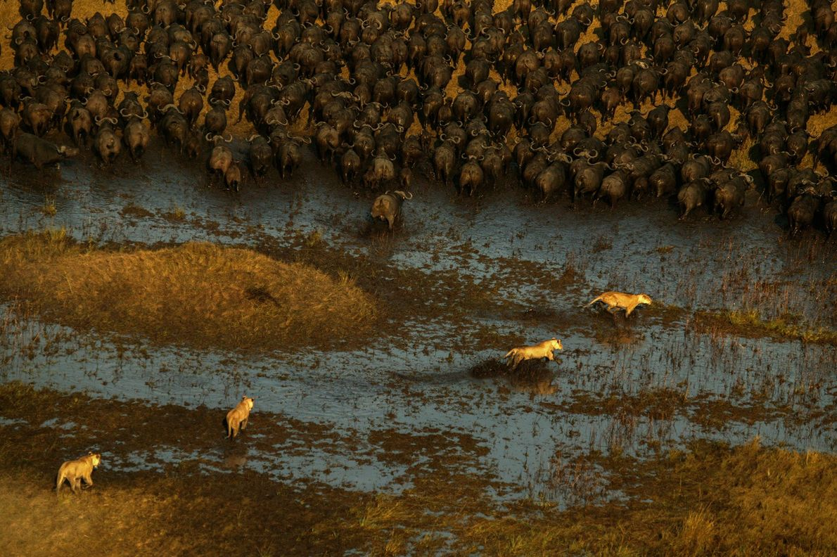 Unos leones cazan búfalos en los humedales del campamento de las llanuras de Duba, en el ...