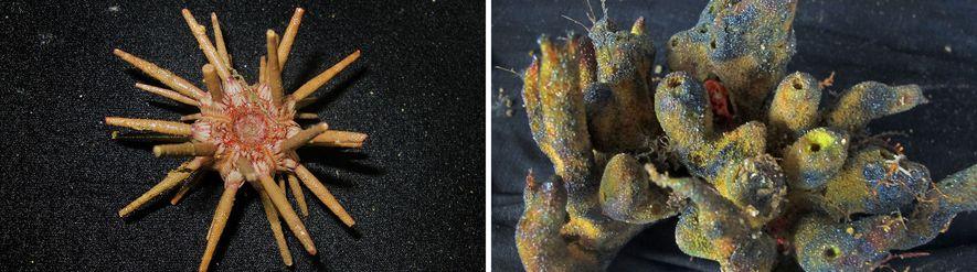 El arrecife de la boca del Río Amazonas es hogar de un sorprendente conjunto de criaturas, ...
