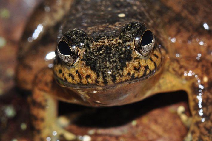 """La especie de rana """"Mantidactylus grandidieri"""" es una de las muchas cuyo hogar es Madagascar. Hasta ..."""