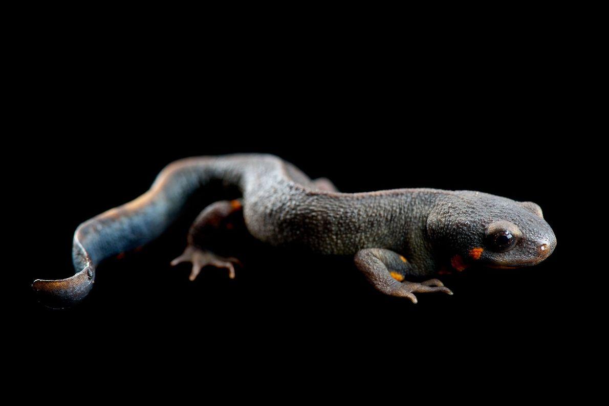 """Un tritón de cola azul """"Cynops cyanurus""""."""
