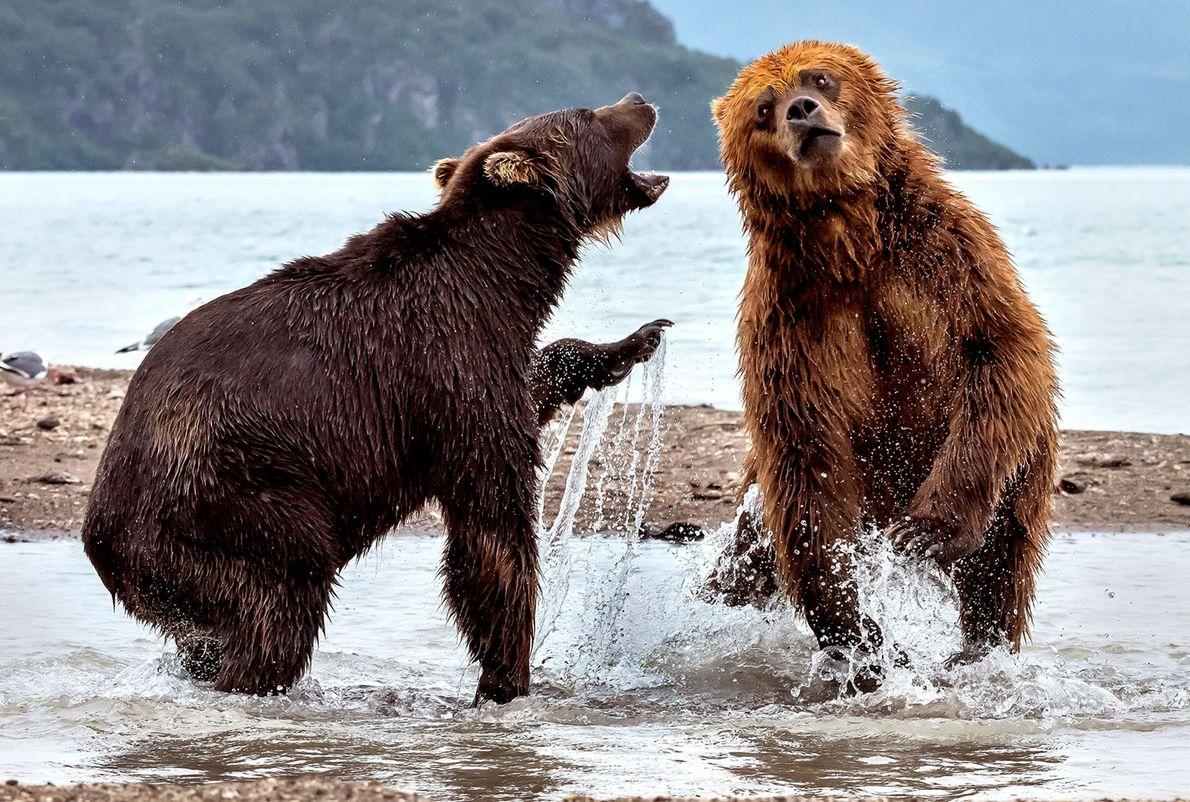Dos osos pardos pelean en Kamchatka, Rusia.
