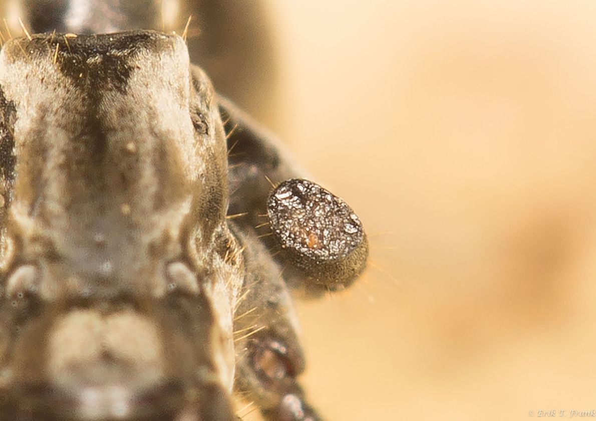 The end of a different ant's injured limb has formed a whitish crust sealing off its ...