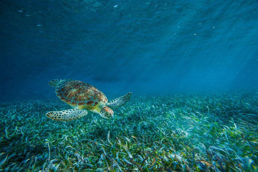 Una tortuga boba se alimenta en una pradera marina en la reserva marina de Hol Chan.