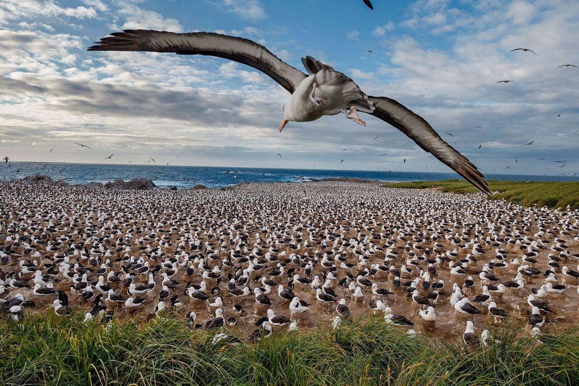 Albatros de ceja negra. Islas Malvinas