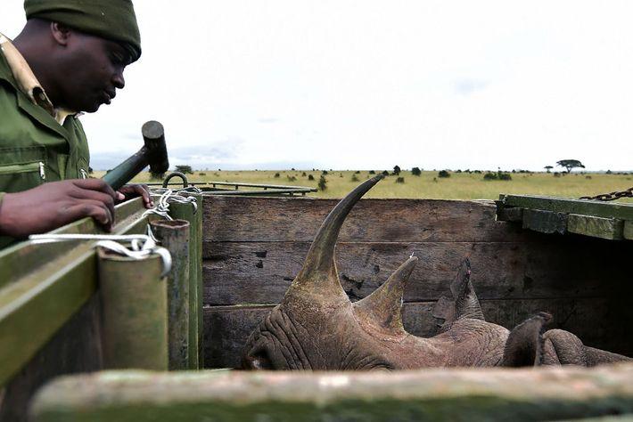 Un funcionario del Kenya Wildlife Service controla a un rinoceronte negro hembra que está camino al ...