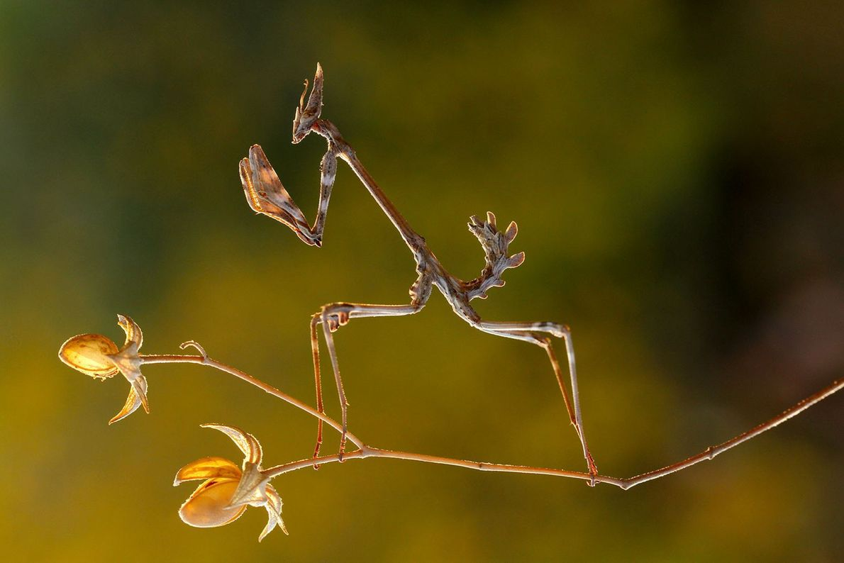 La empusa o mantis palo. Kahramanmaras, Turquía.