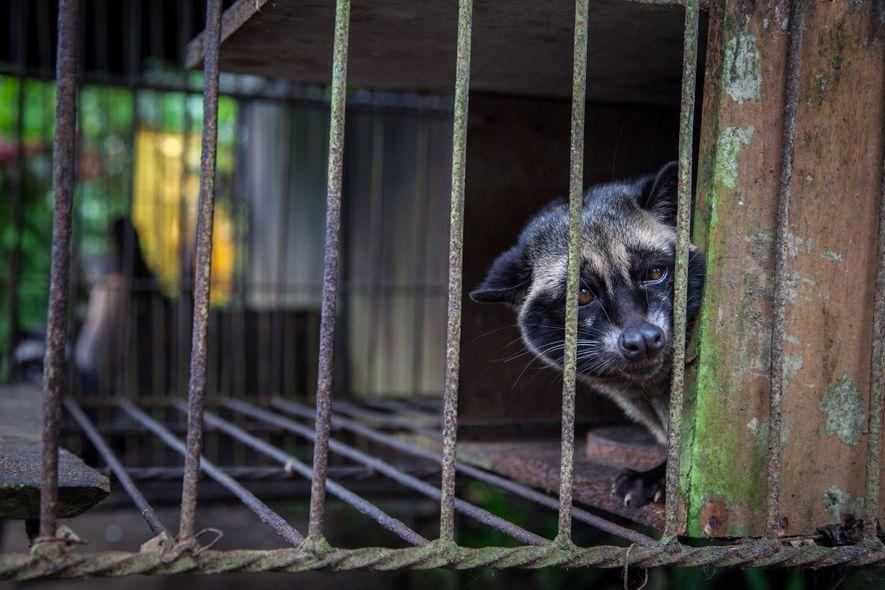 Una civeta en cautiverio, probablemente atrapada en su hábitat natural, mira hacia afuera de su jaula ...