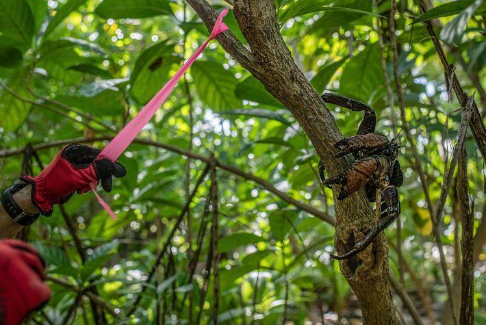 Un investigador etiqueta un árbol en la isla Nikumaroro mientras un cangrejo cocotero residente se posa ...