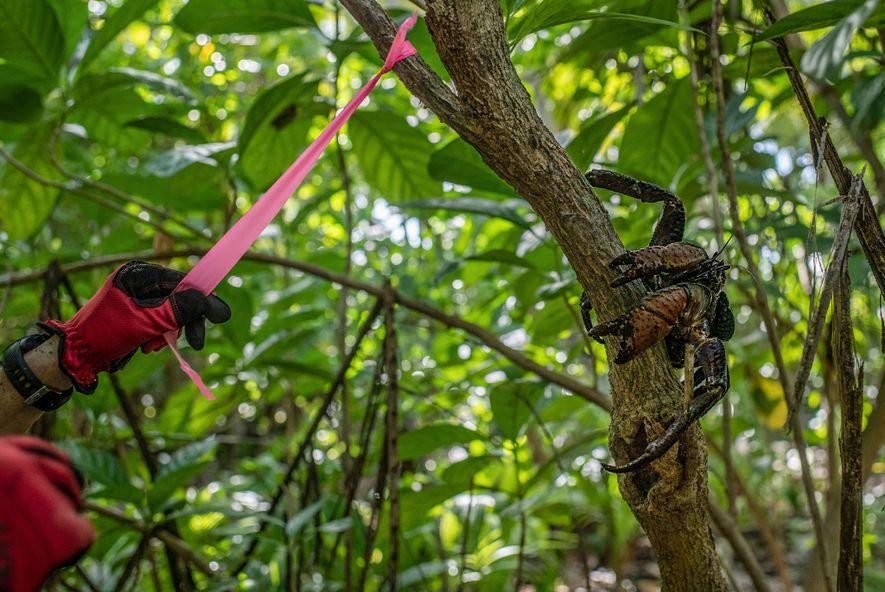 Un investigador etiqueta un árbol en la isla Nikumaroro mientras un cangrejo cocotero residente se posa cerca.