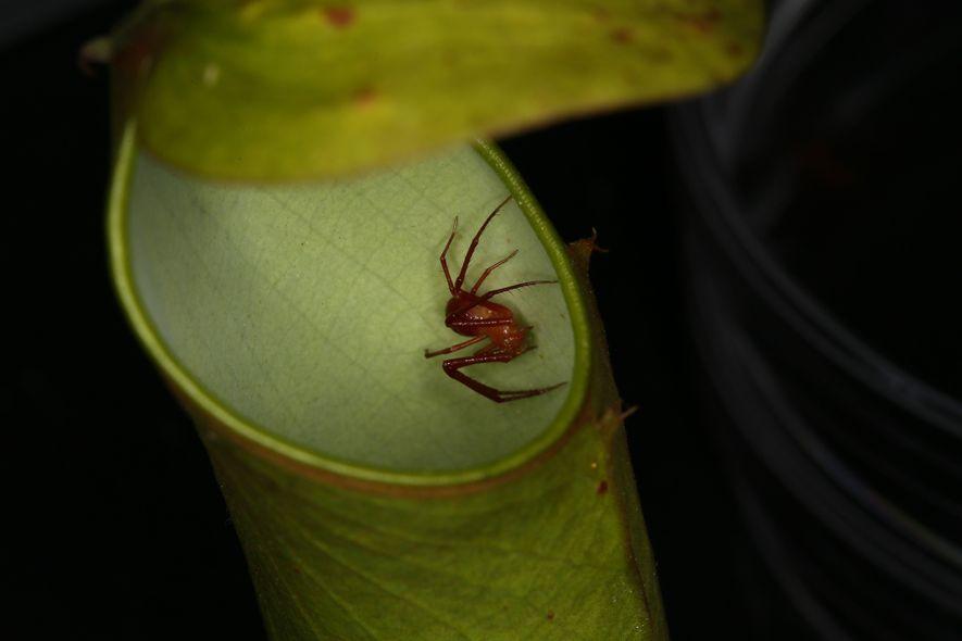 """Una """"Misumenops nepenthicola"""" -araña cangrejo rojo- en una planta jarro """"Nepenthes gracilis"""" a la espera de ..."""