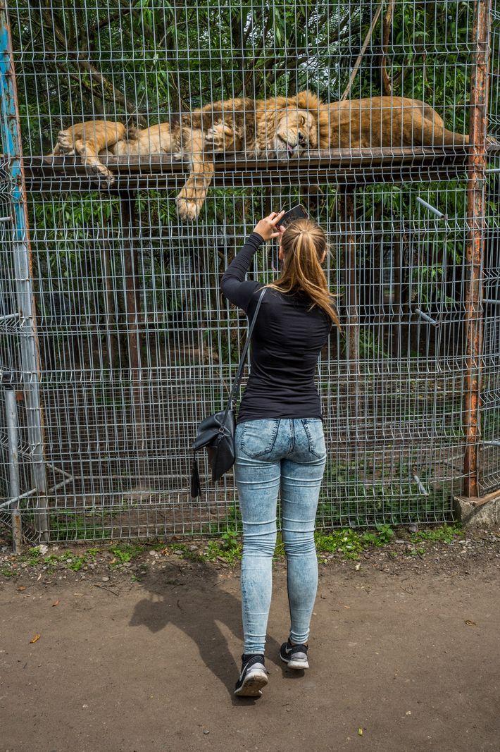 Mientras los leones duermen en un recinto de un zoológico de Lituania, una mujer saca una ...