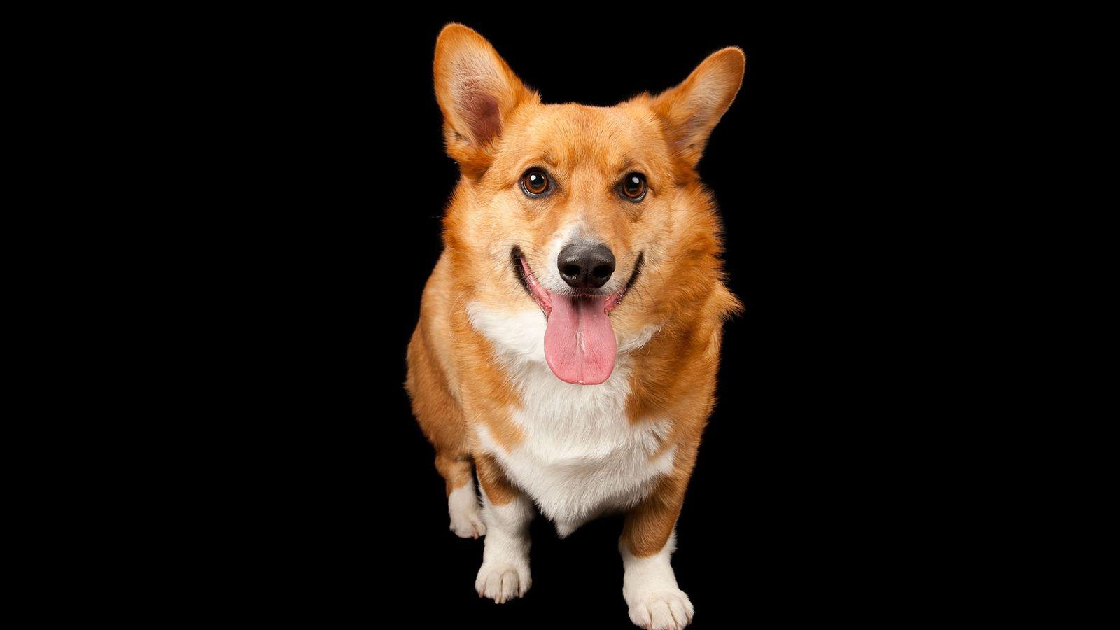 Retrato realizado en un estudio de un perro corgi llamado Rusty.