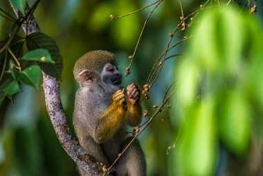 Saimiri común o mono ardilla (Saimir sp.) en la Reserva de Desarrollo Sostenible Mamirauá, municipio de Tefé ...