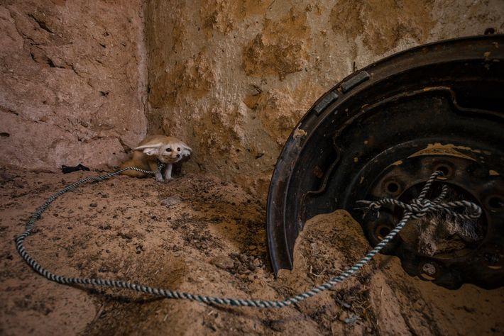 """Un fénec (""""Vulpes zerda"""") que fue capturado de su hábitat y puesto en cautiverio en un ..."""