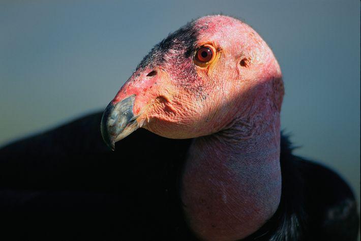 Un cautivo cóndor de California se ve en el Parque San Diego Wild Animal. El ave ...