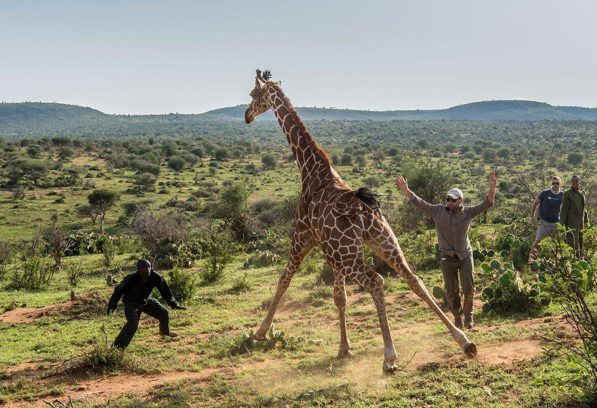 Luego de colocarle un pequeño localizador GPS, liberan a esta jirafa, en Loisaba Wildlife Conservancy.  …
