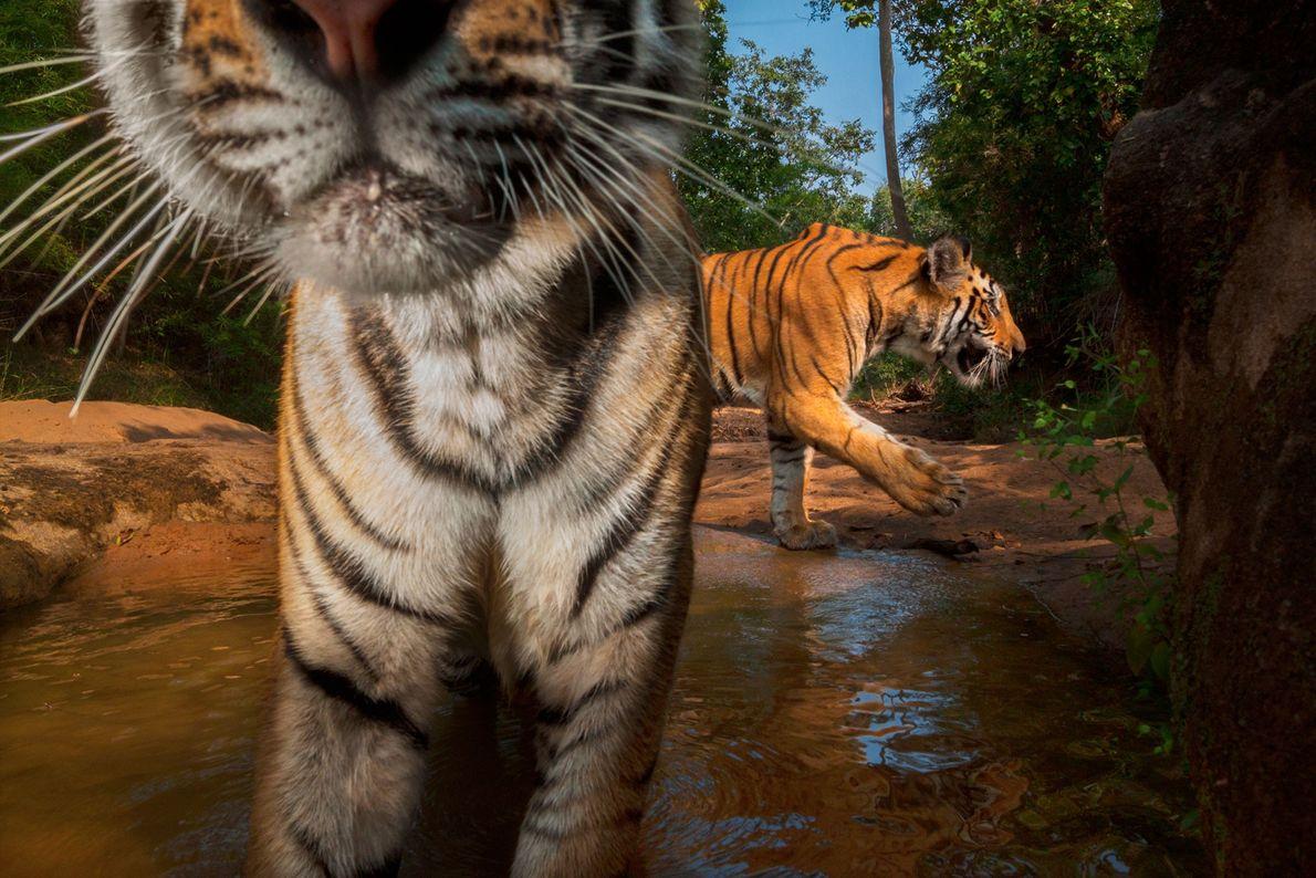 Una cámara trampa retrata a unos cachorros de tigre dándose un chapuzón en un abrevadero del ...