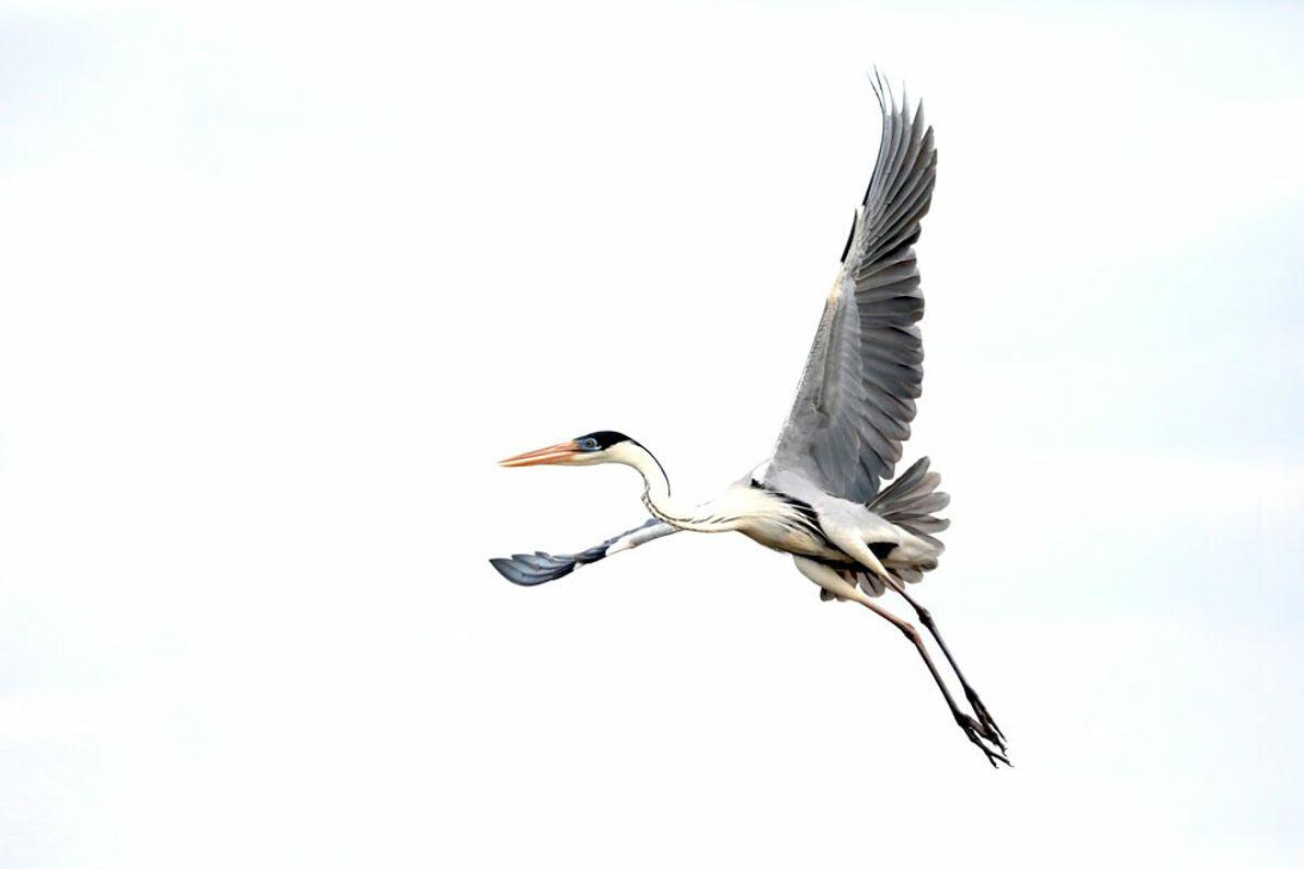 """Garza Mora desplegando sus alas al emprender su vuelo en los Esteros del Iberá, Corrientes. """"Esta ..."""