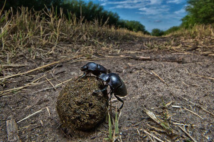 Los escarabajos peloteros, entre los insectos que están en mayor peligro, desempeñan un rol importante en ...