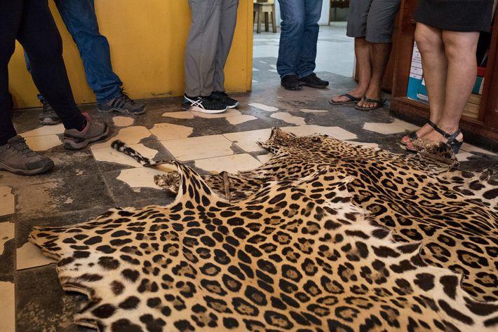 En América del Sur, las pieles de jaguares, como esta en un mercado en Iquitos, Perú, ...