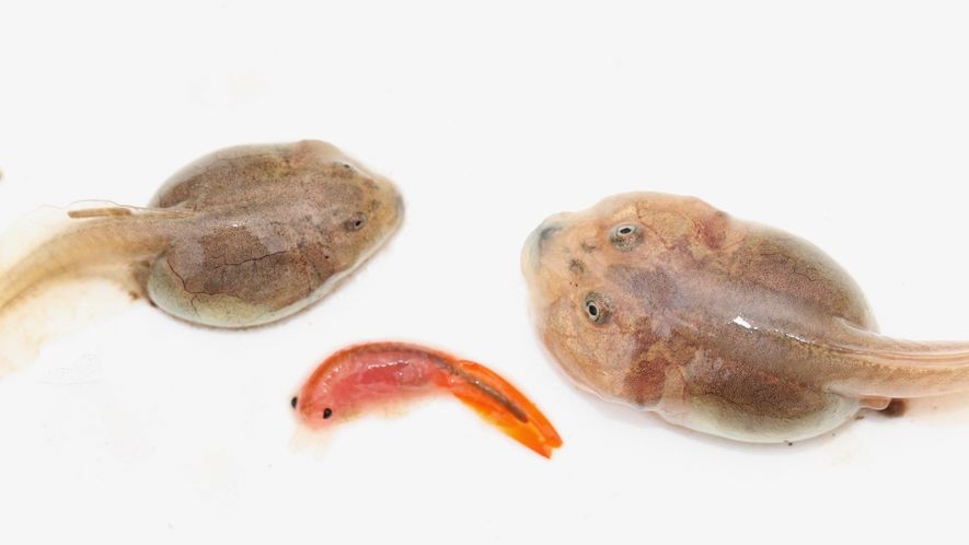 Un renacuajo de sapo pata de pala se desarrolla normalmente como un omnívoro (izquierda). Pero si ...