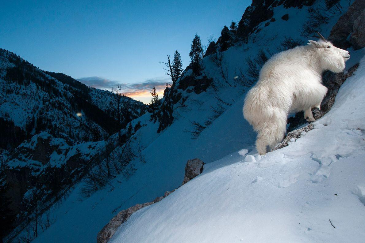 Las cabras blancas o de las Rocosas, autóctonas de las regiones montañosas del noroeste de Norteamérica, ...