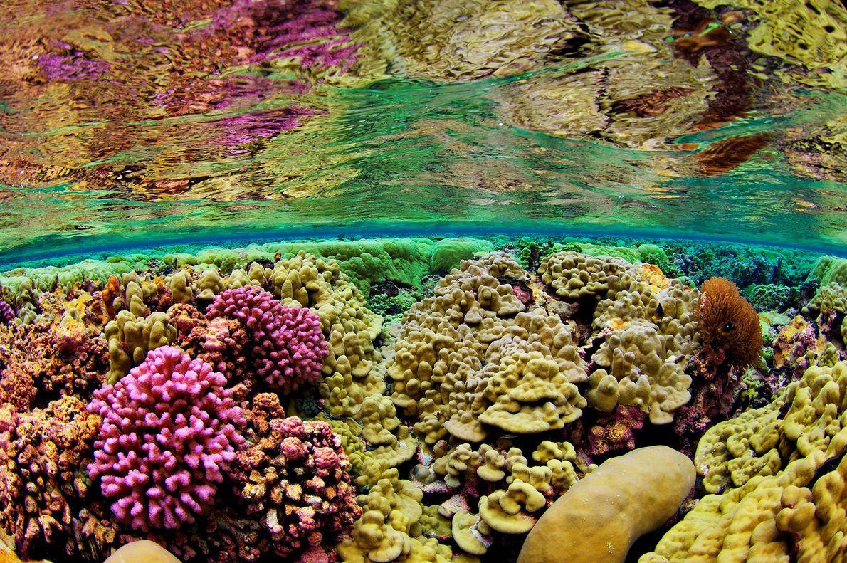 Los corales duros cubren el lecho marino del arrecife Kingman, en las islas de la Línea ...