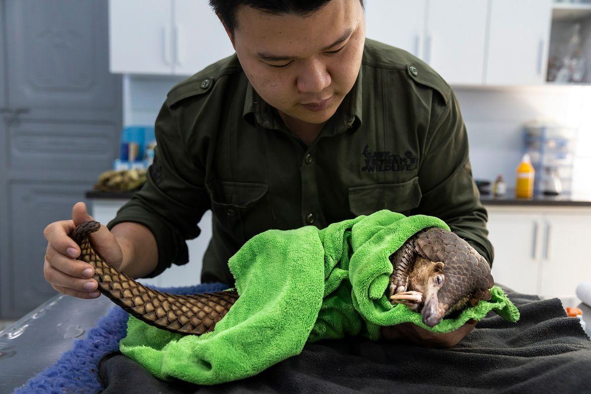El veterinario Lam Kim Hai trata un pangolín que, tras quedar atrapado en la trampa de ...