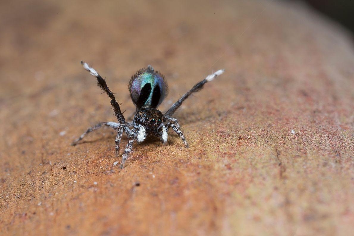 """Una araña macho """"Maratus chrysomelas"""" levanta sus patas traseras y expone sus colores."""