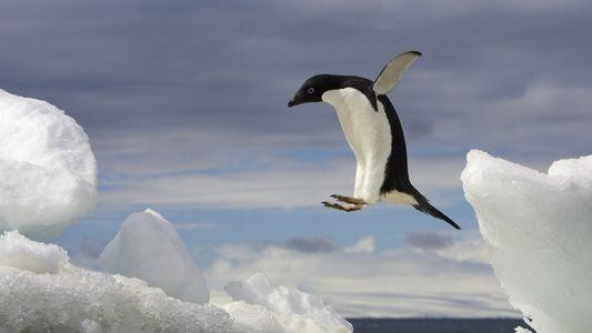 ¿Cómo demuestran su inteligencia los pingüinos?