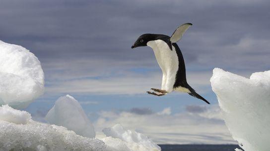 Un pingüino de Adelia salta sobre un iceberg en la Antártida.