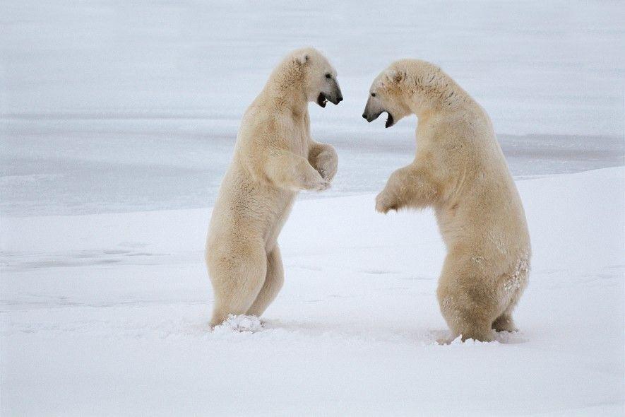 Unos osos polares pelean en la bahía Hudson de Canadá. Estos grandes depredadores evolucionaron para vivir ...