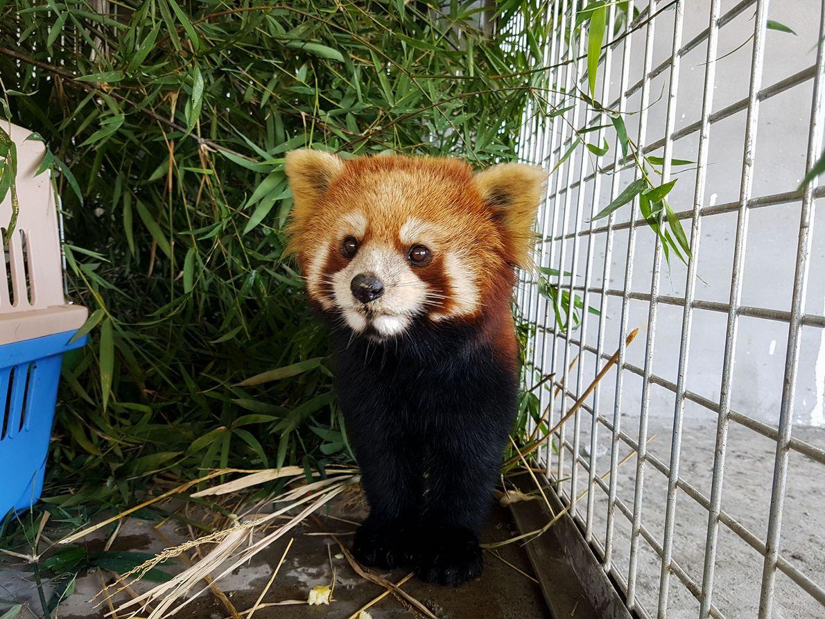 Los tres pandas rojos sobrevivientes, incluido el que se muestra aquí, están siendo monitoreados por el ...