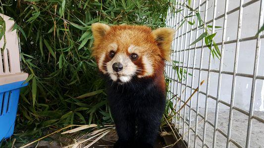 Rescate de Pandas Rojos