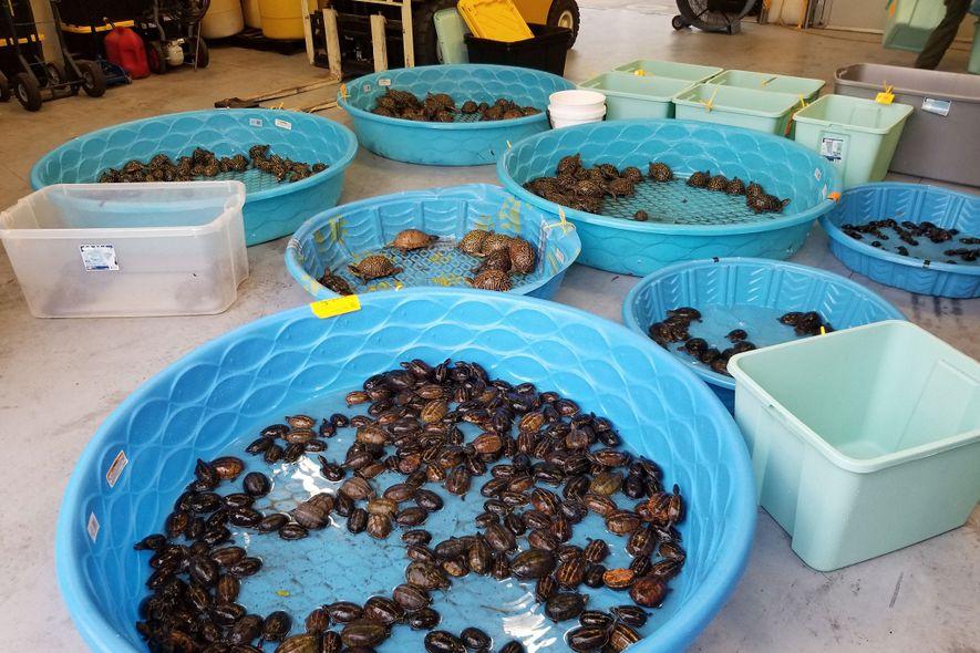 Los oficiales de la ley en Florida recientemente confiscaron cientos de tortugas salvajes de presuntos traficantes ...