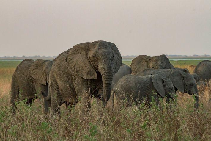 Esta matriarca sin colmillos se desplaza junto con su manada por una llanura aluvial en Gorongosa. ...
