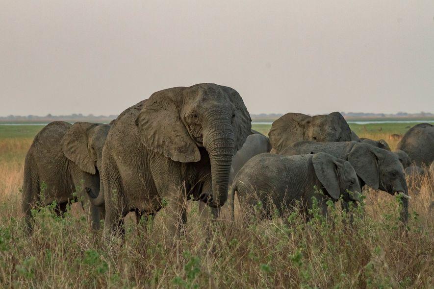 Esta matriarca sin colmillos se desplaza junto con su manada por una llanura aluvial en Gorongosa.