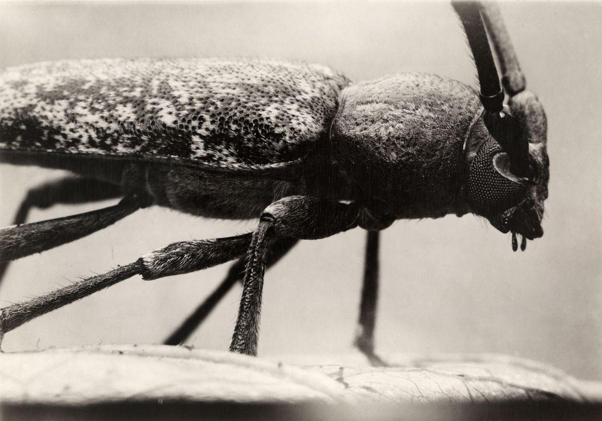 El twig pruner, un escarabajo de largos cuernos nativo de América del Norte, es considerado una ...