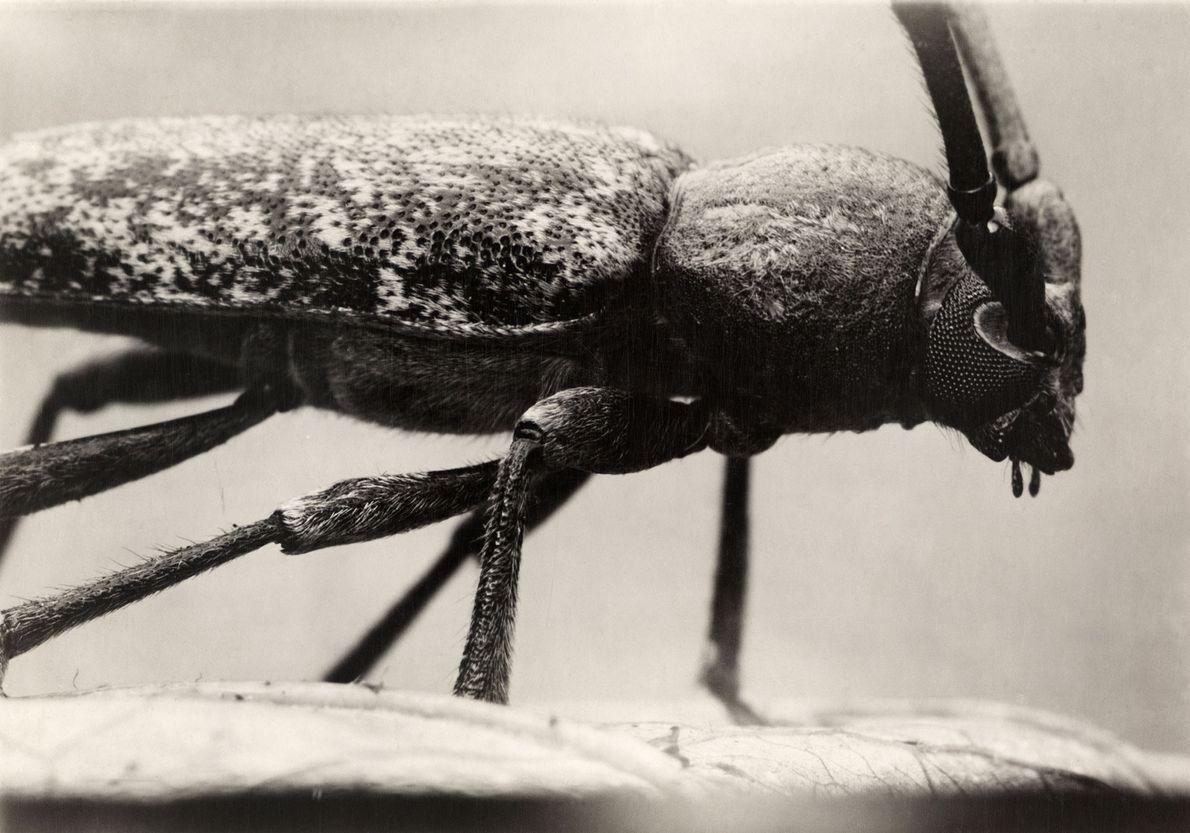 El twig pruner, un escarabajo de largos cuernos nativo de América del Norte, es considerado una …